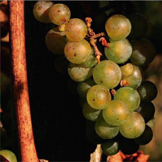 vino-griego